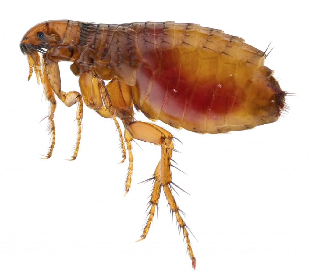 Fleas on humans head