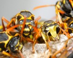 Wasp Nest Removal - Pest Control Doncaster