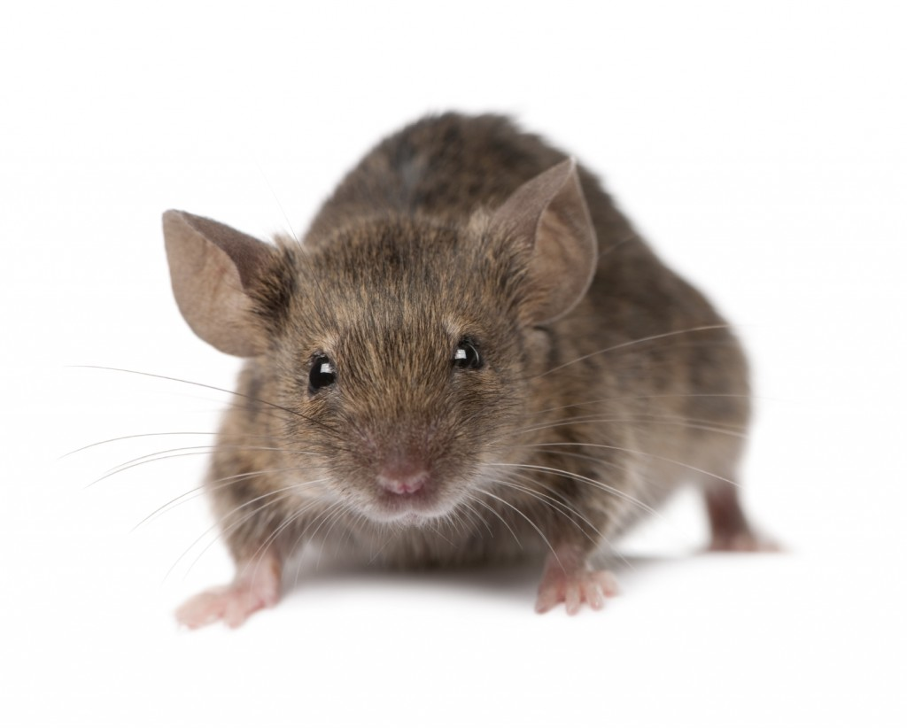 Mice Control-Pest Control Doncaster