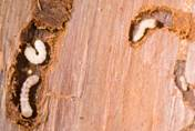 Woodworm Control Conisbrough